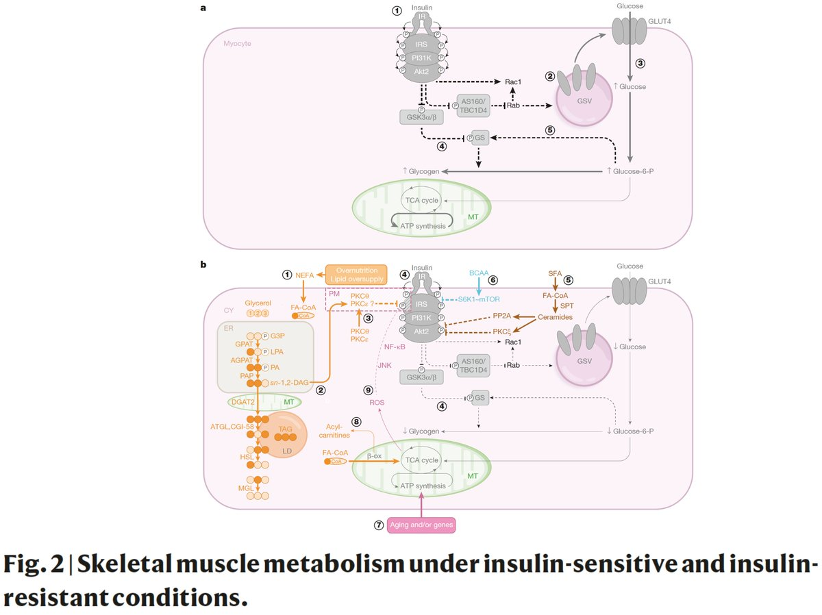test Twitter Media - This is quite the review of the biology and mechanisms for #T2D #diabetes and insulin resistance @nature #nature150  https://t.co/iciizawP82 by Roden and Shulman https://t.co/nPxj7ufqCE