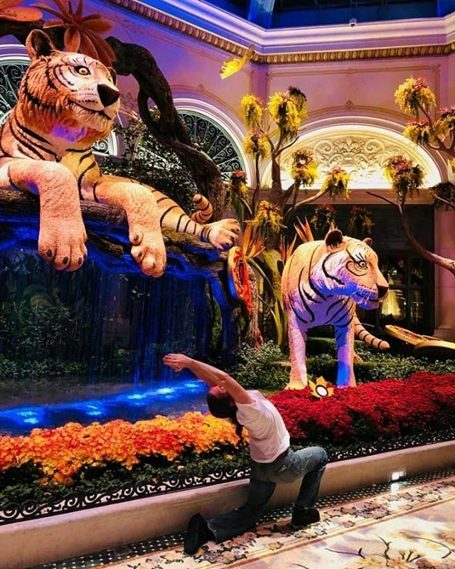 A little backstretch to honor the tigers  #Bellagio #vegas #vegasvalley #adevotedyogi #yoga #bliss #balance #stillness #flexibility #antiaging #longevity #vegasyogi #gratitude