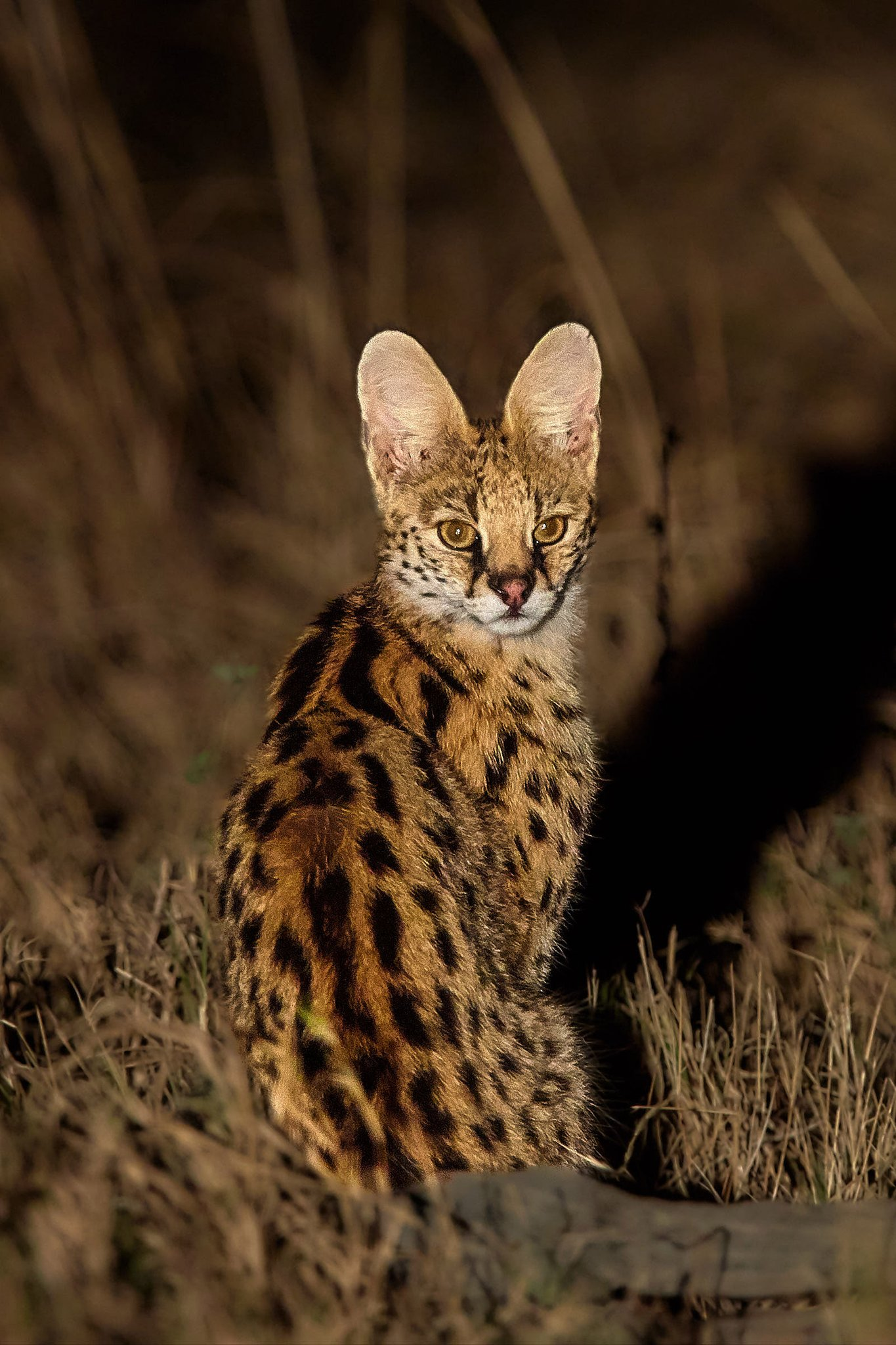 A serval keeps a weather eye (and two very large ears) out for potential dinner action at Konkamoya Lodge on the banks of Zambia's Lake Itezhi-Tezhi. 📷 Andrea Porro https://t.co/UOZp1t29H1