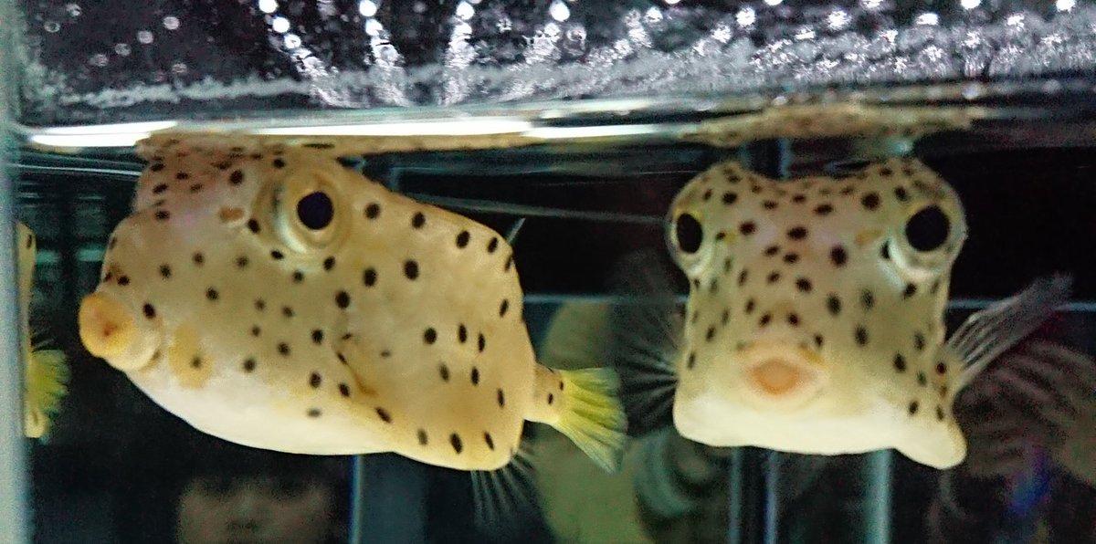 test ツイッターメディア - #はこふぐ かわいい~♥️  #ニフレル #ハコフグ #萌え #水族館 https://t.co/R9yPXd6vZ3