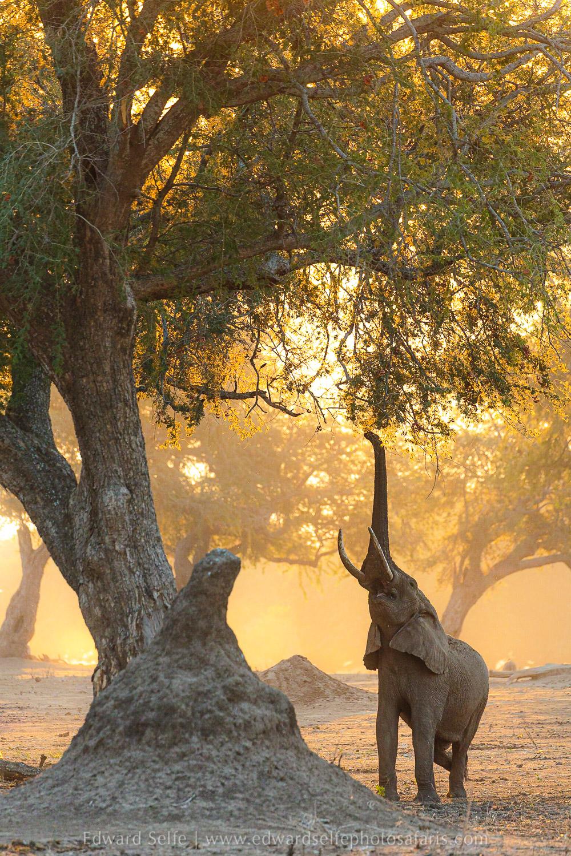 Perfect lighting creates a golden glow around this elephant reaching up into a winterthorn tree. Via @RobinPopeSafari  📸 Edward Self https://t.co/r2V3v6kAX7