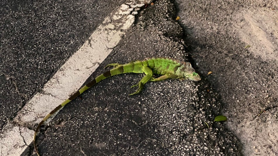 The National Weather Service forecast falling iguanas in
