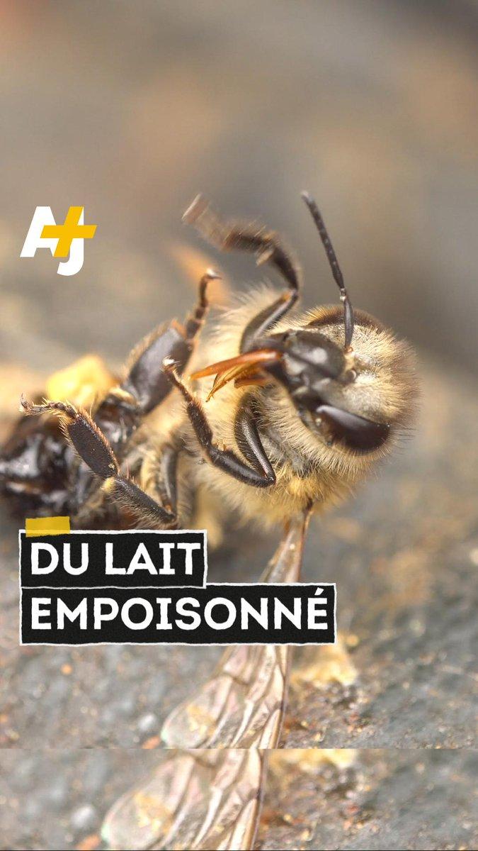 Vous pensiez le lait d'amande bon pour la santé et l'environnement ? Détrompez-vous : la production intensive d'amandiers est responsable de la mort de 50 milliards d'abeilles.