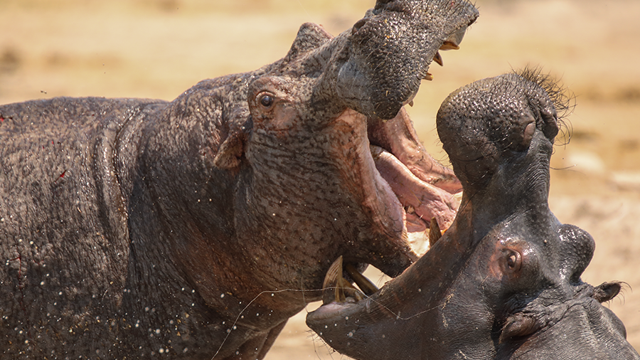 TFW you realise you've missed the baby hippos on @PBS...  Don't worry US viewers - you can stream Hippos: Africa's River Giants on catch up right here! 👉 https://t.co/3cet8w78PR https://t.co/CqyEqkDCqK