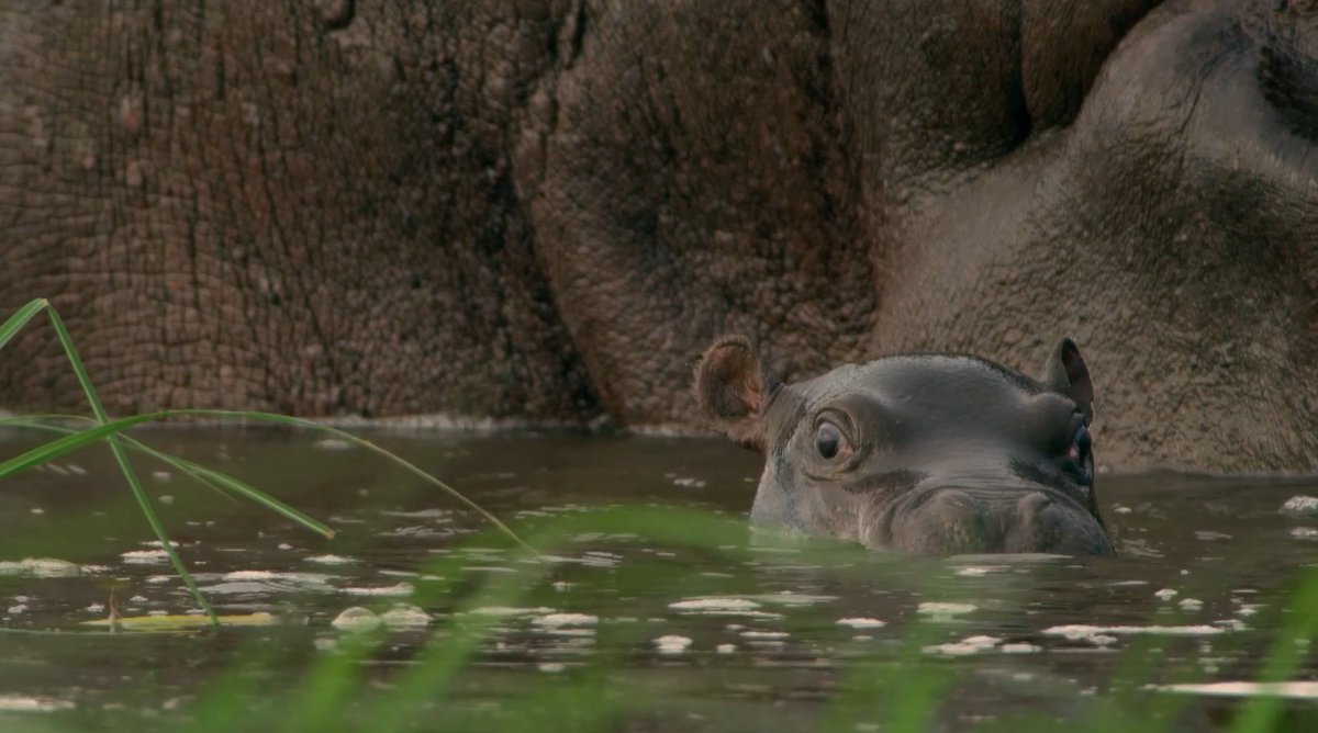 Good news: we've got baby hippos for you this #WildlifeWednesday 🦛 Even better news: Hippos: Africa's River Giants is still available to stream on @pbs 👉 https://t.co/IOBYjgW19o https://t.co/pnRtShqT8e