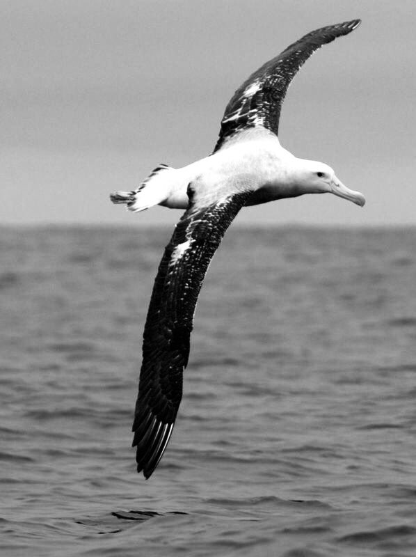 en ces jours je pense à l'albatros avec lequel je tournoie de haut en bas dans un pays non écrit ...  Ingeborg Bachmann https://t.co/tX4YaPulIZ