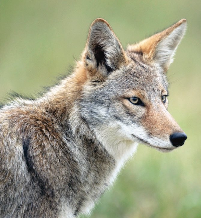 Due to sightings of a Coyote in Central Park.   Do not feed coyotes 🥩   Observe and appreciate coyotes from a distance 🦊                 👀  Protect your pets 🐶  If you are approached, make yourself look bigger by putting your arms up, and make loud noises. 💪🏽🗣