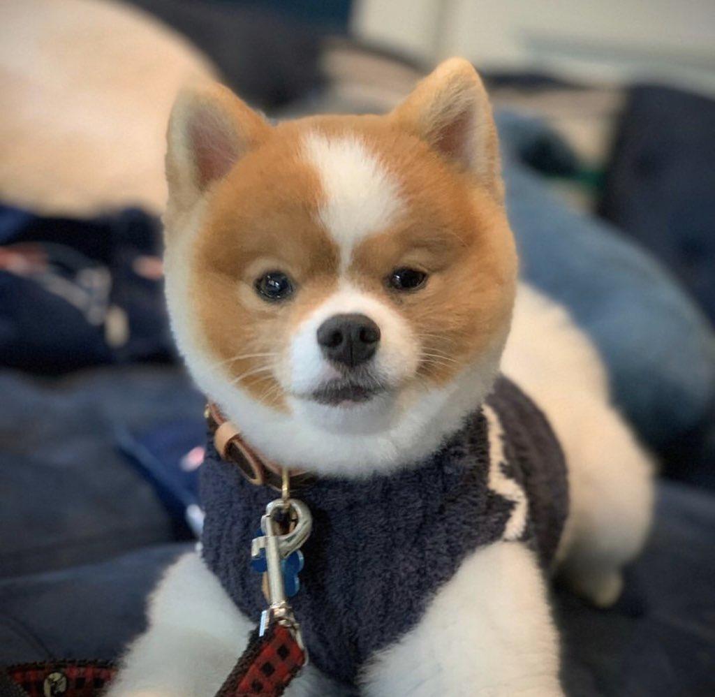 Champ's got his winter sweater on. 🐶🧶 #familydog #pomeranian