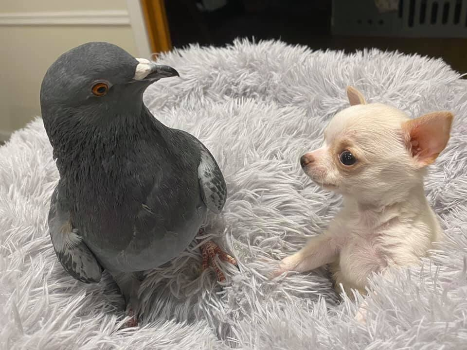 RT @emma_____weaver: fuck it. small dog and pigeon https://t.co/G9A551w0Le
