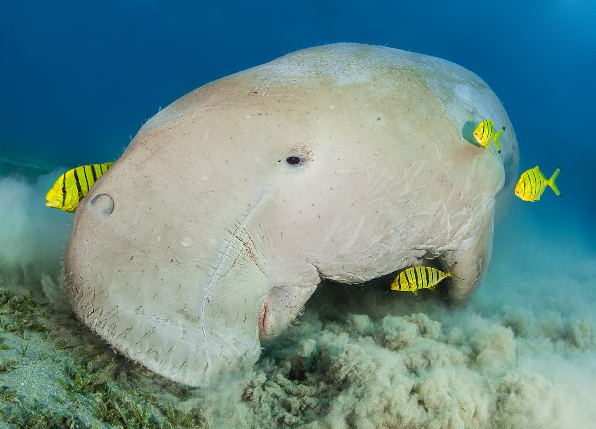 #FunFact: Dugongs are referred to as sea cows because they use their strong, cleft upper lips to graze on sea grasses they uproot from the seafloor. Learn more: