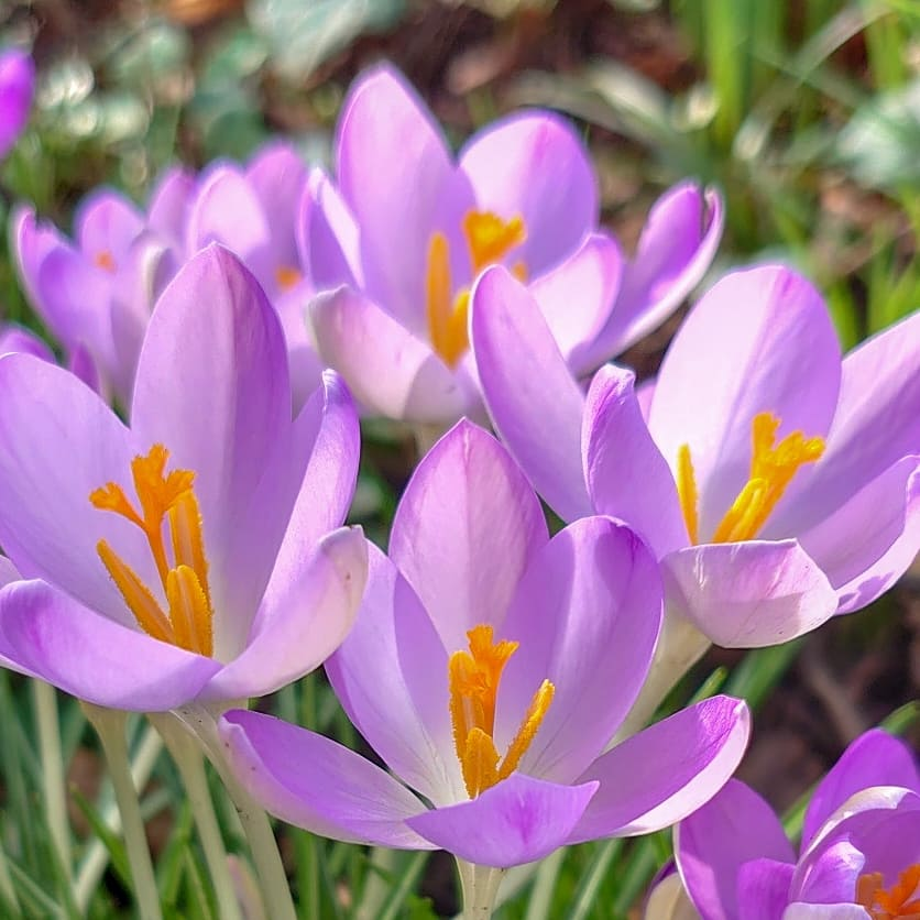 test Twitter Media - Early February and the spring crocuses are starting to emerge.  Nature's colour pallette is providing a welcome purple hue to the country lanes.  #Devon #Ivybridge #Flowers #Crocus #Countryside #Spring https://t.co/fzCOyjn4MJ