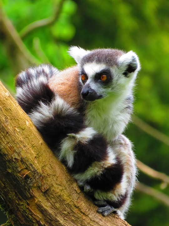 Move it, move it with Nosy Be's gorgeous lemurs. @flyairlink takes you to the only place in the world where lemurs can be seen in the wild. https://t.co/7qxbsM32aB