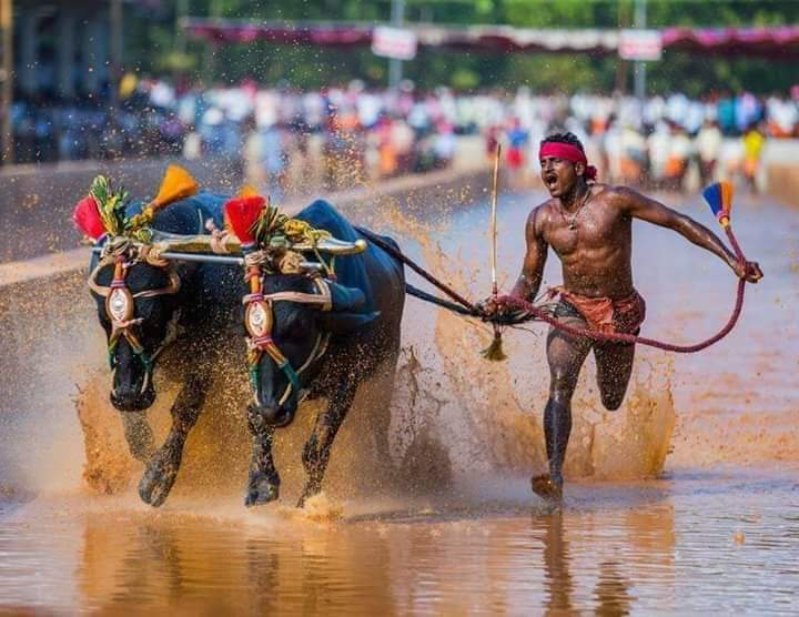"He is Srinivasa Gowda (28) from Moodabidri in Dakshina Kannada district. Ran 142.5 meters in just 13.62 seconds at a ""Kambala"" or Buffalo race in a slushy paddy field. 100 meters in JUST 9.55 seconds!  @usainbolt took 9.58 seconds to cover 100 meters. #Karnataka"