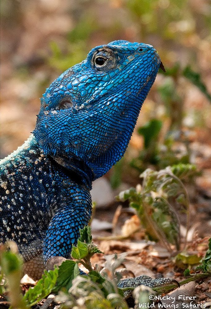 A southern tree agama looks splendid in his bright blue breeding colours in the Kruger National Park. 📸 Nicky Firer Via @WildWingsSafaris https://t.co/5pYmhpnpwQ