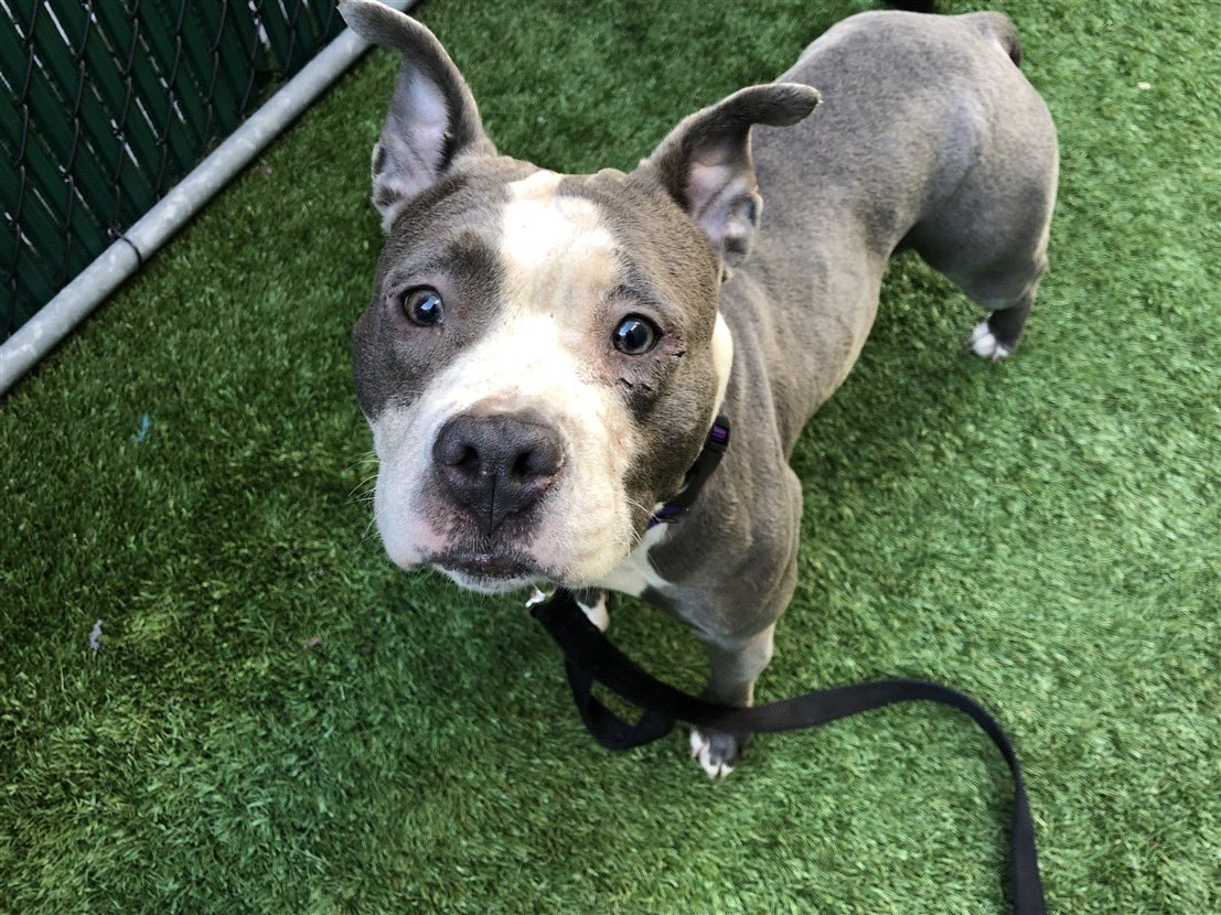 ❤KIFI❤ NYCACC #87639 At-Risk List? I am Kifi, smart, playful & a joy if I say so. I watch you for cues & I can do anything. My sister, Kiwi #87640 is here to but they don't want to kill her yet.  I do not want to die. I am a good girl.  I luv you💕 Mustlovedogsnyc@gmail.com