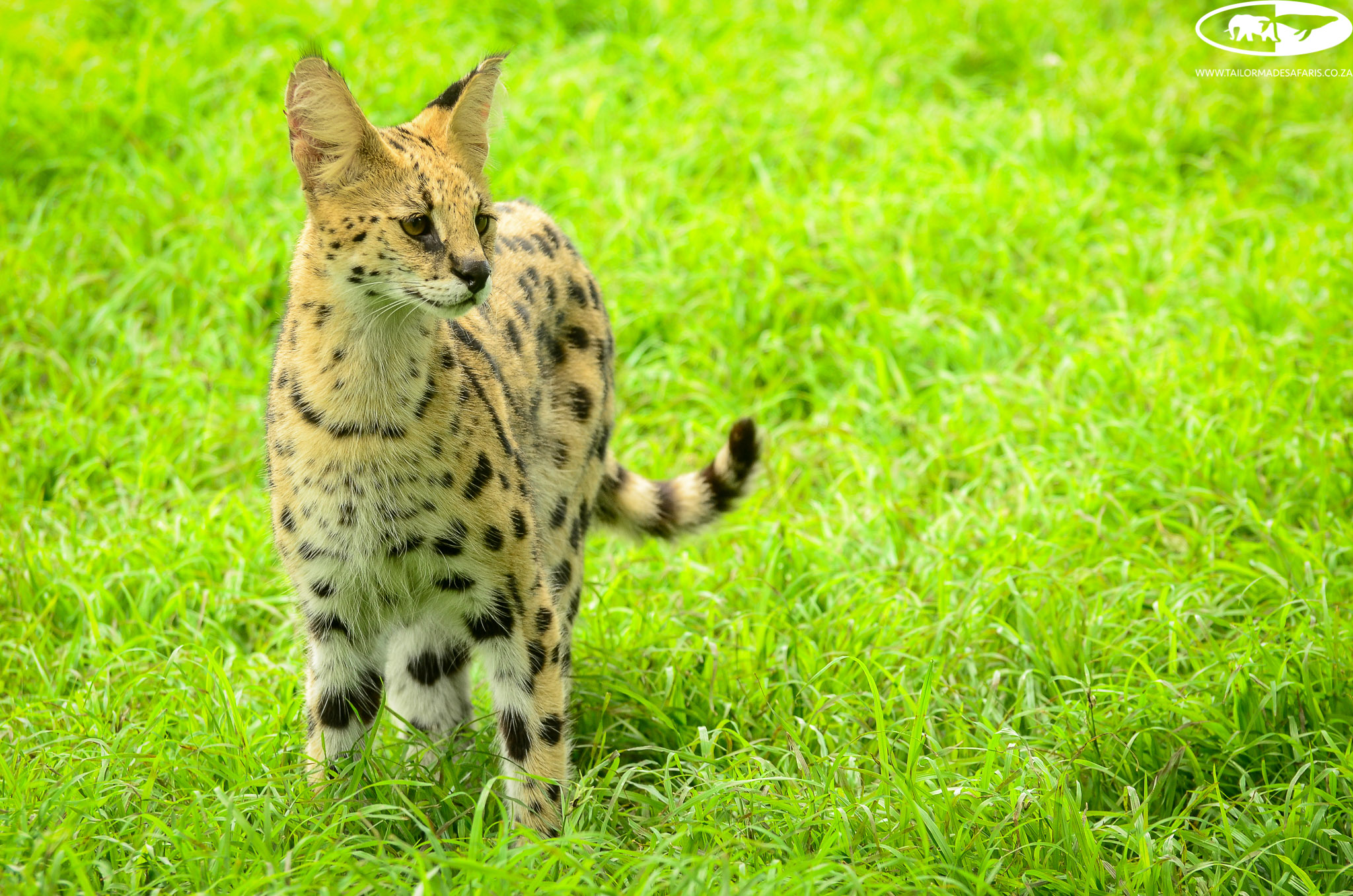 A serval spotted at Emdoneni Lodge in KwaZulu-Natal. Did you know that compared to other cats, servals have the longest legs relative to their body size? Via @tms_za https://t.co/NC5XLSwuFL