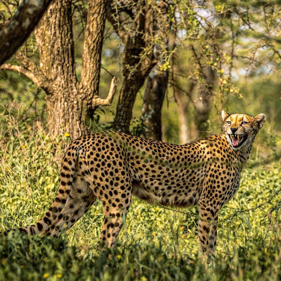 #photography #wildlifephotography #wildlife #cheetah #africa #wildafrica #canon #passion #keepwalking https://t.co/OS9G9GI3hn