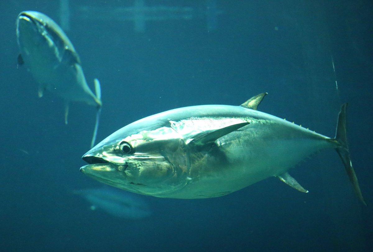 test ツイッターメディア - 本日2/23(日)19:30~放送のNHK「ダーウィンが来た!」では、「さかなクンと解明!クロマグロ 噂の真相」を放送!葛西臨海水族園のクロマグロが登場します!クロマグロに関する様々な噂を検証!ぜひご覧ください。https://t.co/6W7CLoIeaX #かさりん #tslp_e https://t.co/w6T9mb5ifi