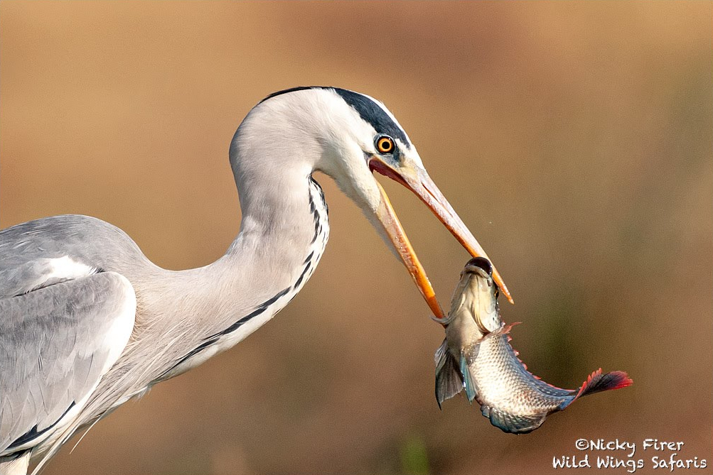 Gotcha! A grey heron snaps up supper in the Kruger National Park. 📸 Nicky Firer Via @WildWingsSafari https://t.co/EDawk6ZVAQ