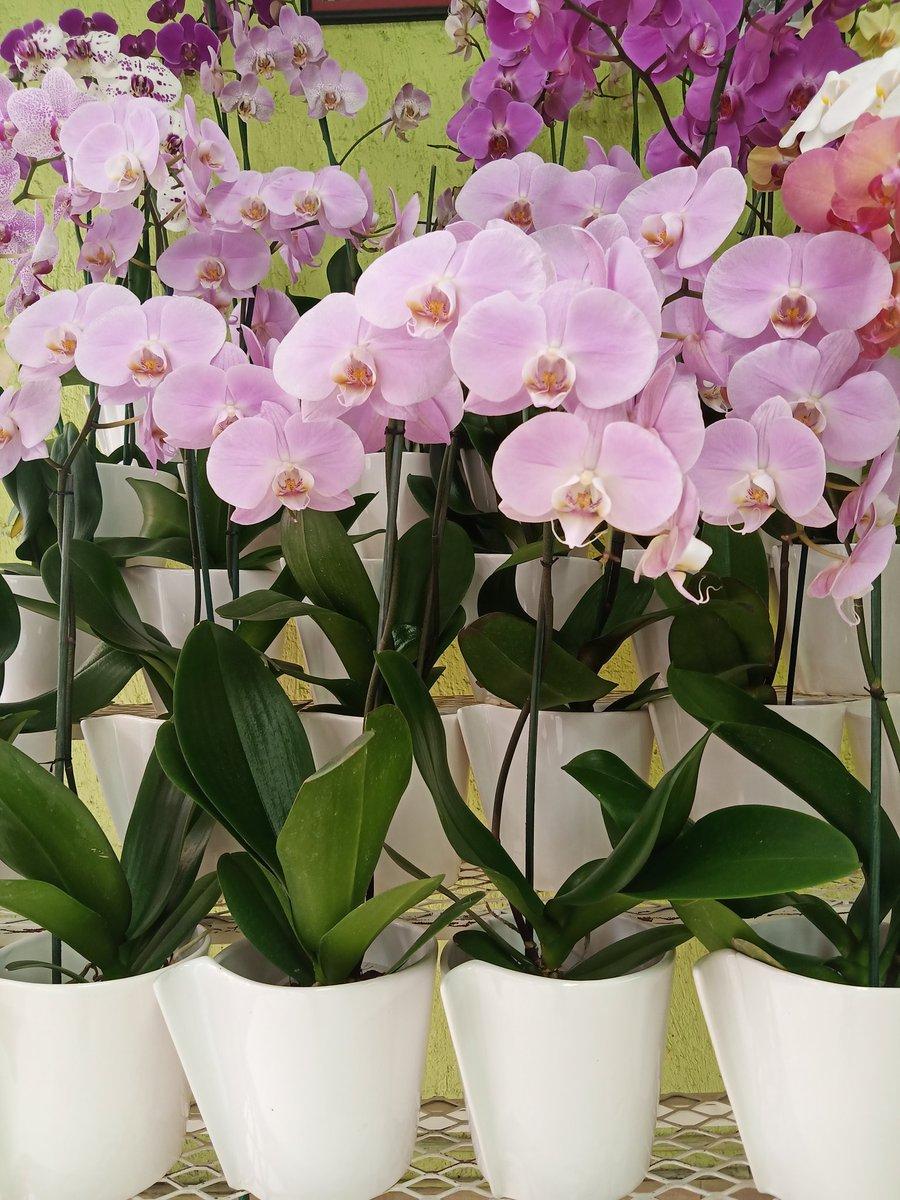 Amigos AMLOVERS que viven en la CDMX me gustaría pedirles su ayuda para promocionar las orquídeas que vendemos en mi trabajo. Esta emergencia de salud ya repercutió en nuestras ventas y aún no empiezan las semanas de contingencia. @Rafaherrera1983  @MemeYamelCA  @_VicenteSerrano