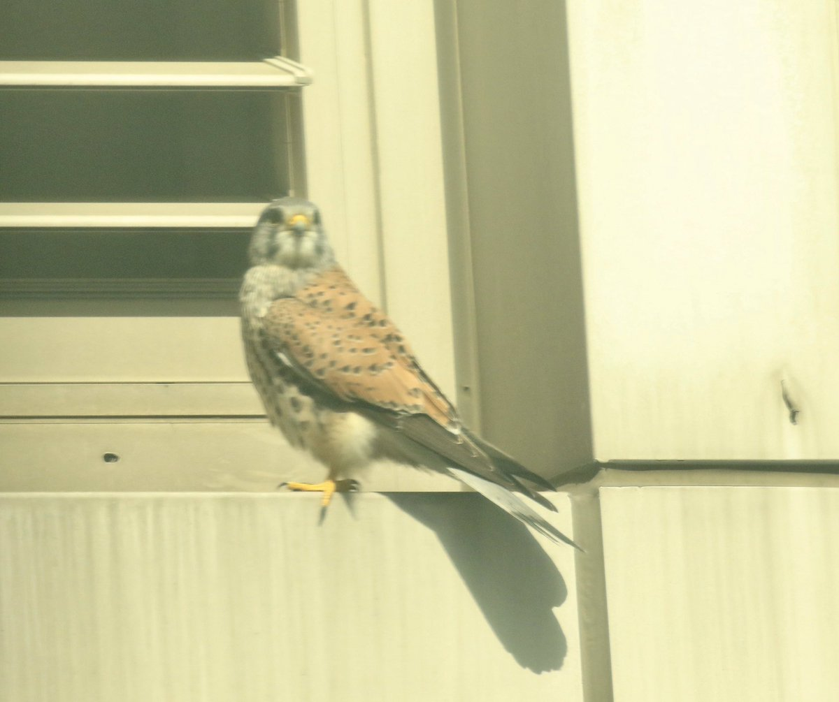 A Common Kestrel alighted on my building, then took off and put on a show outside my window before gliding down to a nearby Buddhist temple. A simultaneously exhilarating and serene break in the quarantine monotony.  #BWKM0