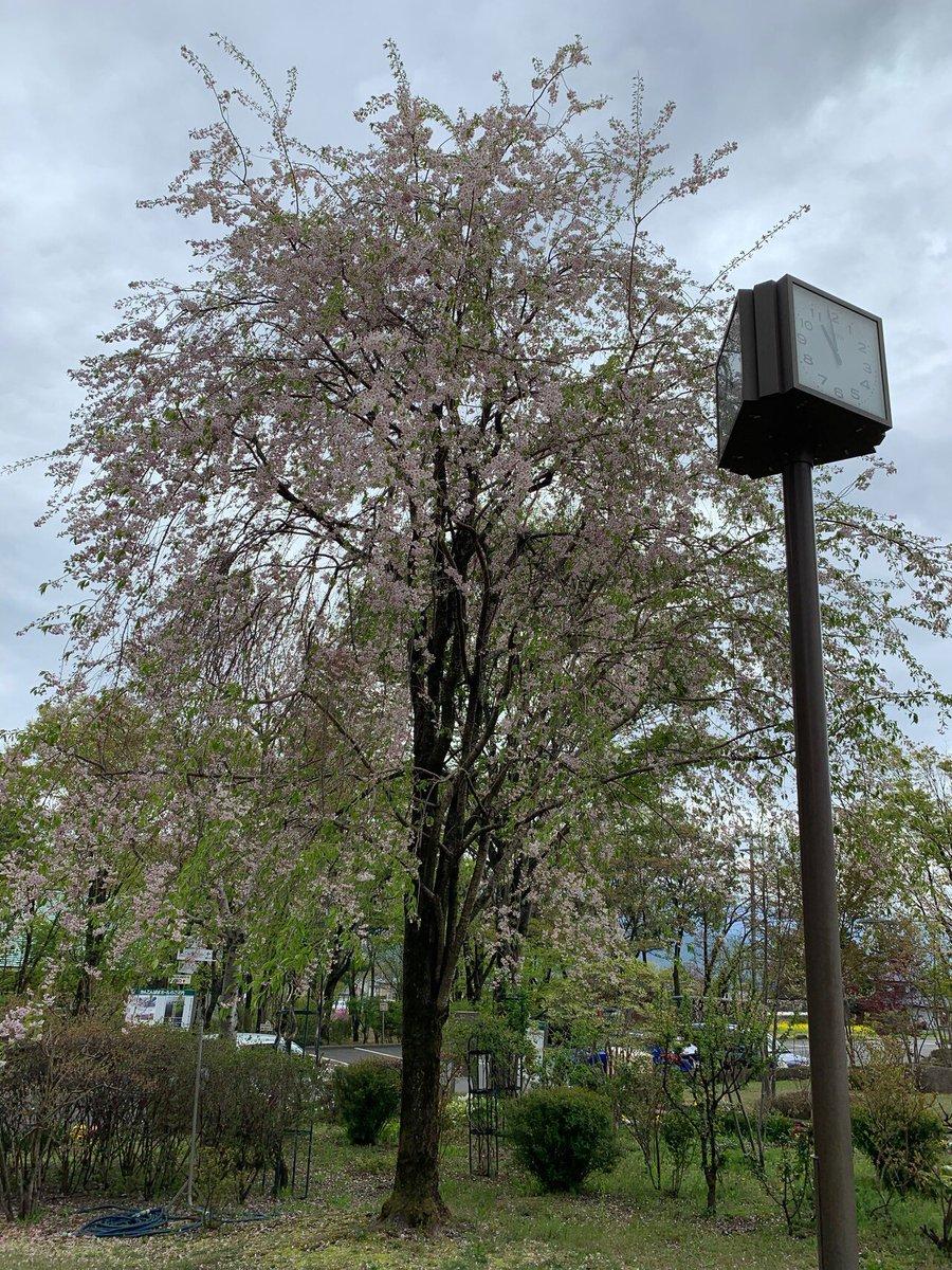 test ツイッターメディア - @Balloon_RYU 小城のお酒と小城の羊羹って、どうですかね〜😅 去年、帰省した時の写真です。 お天気はあまり良くなかったですが…😅1枚目と2枚目は桜🌸、3枚目は花桃…1本の木に色んな色の花がついています…、4枚目はりんごの花です😊 https://t.co/24uctCb4Qq
