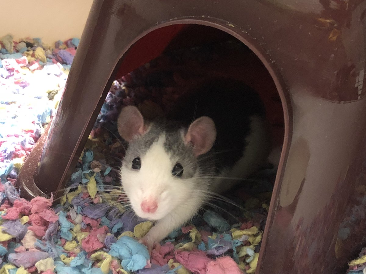 test Twitter Media - Maxwell didn't last long enough to get to the vets either way. Passed away very peacefully, but this week isn't great. Ellie spent last night v upset. I'm glad he passed at home with us though. Here's a photo of him when he was little. Rat lifespans are way too short. 😐 🐀 https://t.co/lMMI7QbH5P