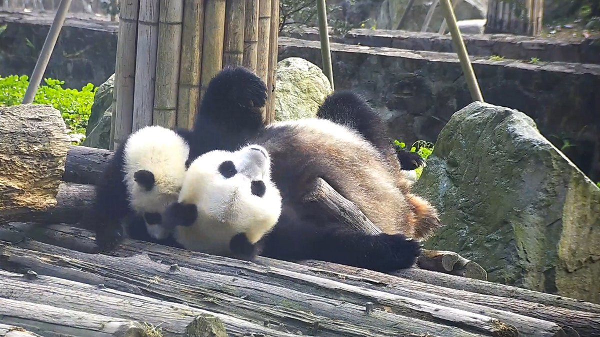 Is this the consequence of disturbing your mom's sleep? (Yi Ran & her baby) 一大早就被熊孩子吵醒,真是帶娃不易! (怡然,怡然仔)  #panda #giantpanda #animal #pet #adorable #China #travel #ipanda #cute #Sichuan #funnyvideo
