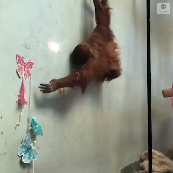 """Staff at the Denver Zoo celebrated the second birthday of Sumatran orangutan Cerah, giving her presents and decorating her enclosure amid the national """"closed but still caring"""" campaign during the coronavirus pandemic."""