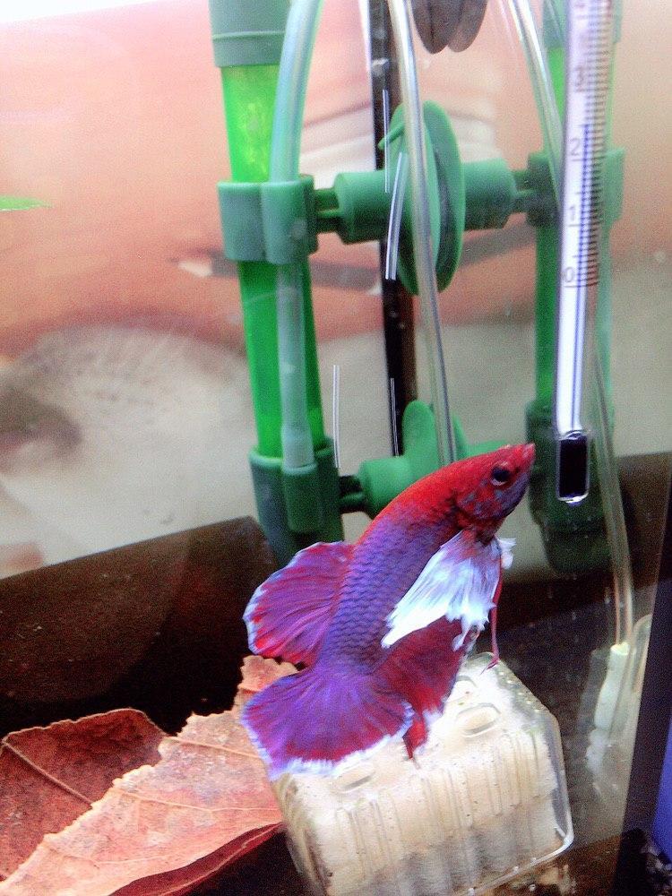 test ツイッターメディア - こんにちは!おやすみリーフよりロカボーイコンパクトの上が好きな紫之助です。ダンボプラカット(´ω`*)去年の11月のアクアリウムバスにてお迎えしたコです✨  #アクアリウム #ベタ #グッピー #熱帯魚 https://t.co/gvKFuhQln3