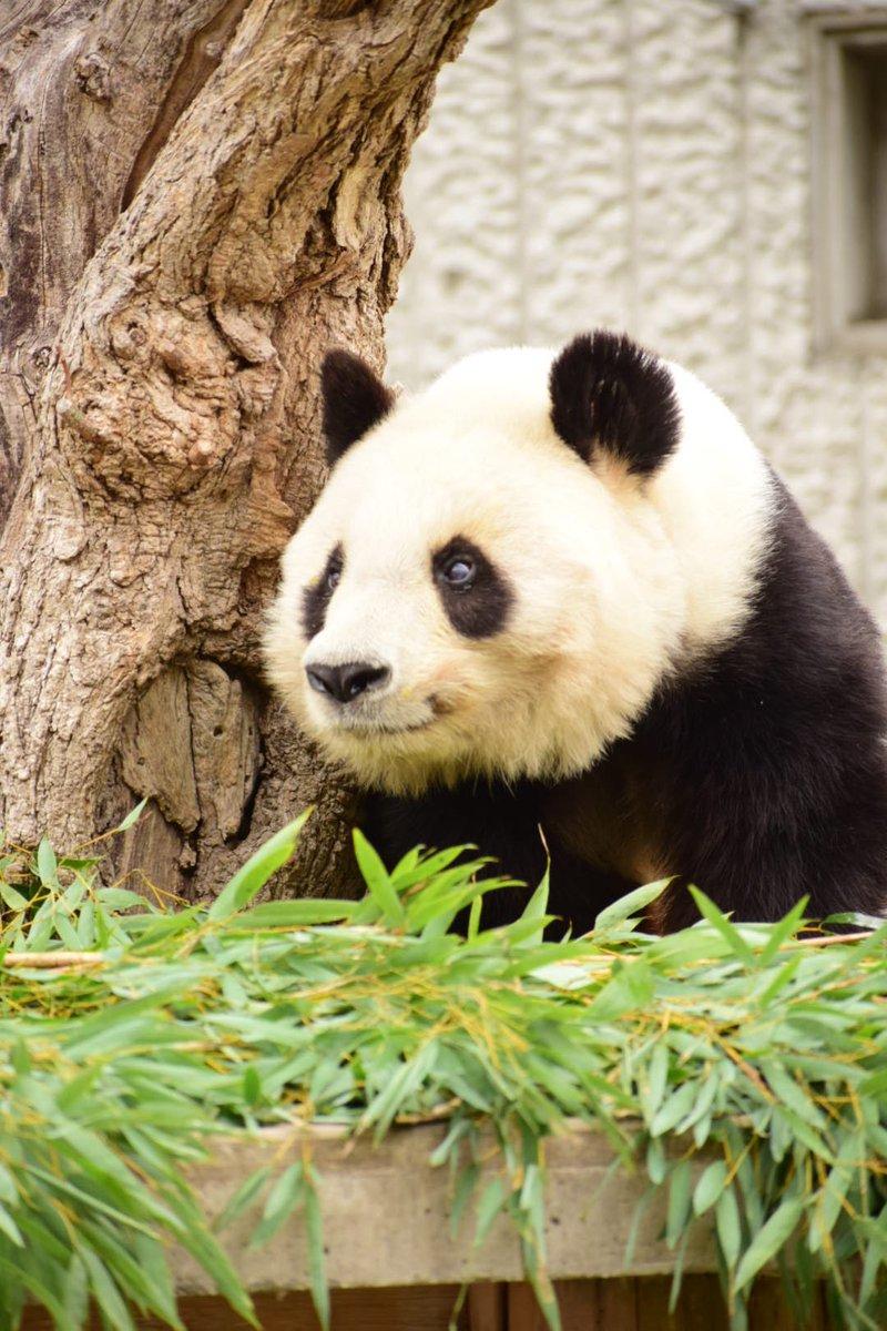 test ツイッターメディア - 店長、昨日、近所の王子動物園ちょこっと行ってきました。パンダのタンタン笑っててかわいすぎでした😍💕🐼 #zoo #王子動物園 #kobe https://t.co/CvFH5vDM0v