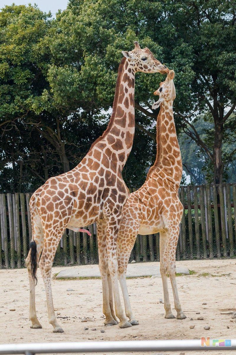 test ツイッターメディア - キリンは長い #東武動物公園 https://t.co/AK2z2iOYy3