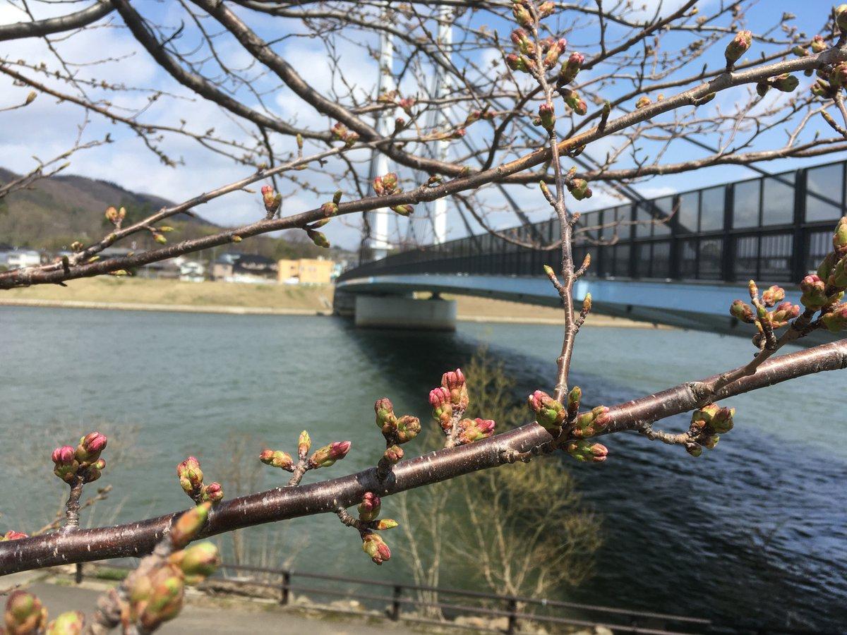 test ツイッターメディア - 由利橋のたもとの桜のつぼみが膨らんできた。風があまりあたらなくて,日当たりがいい場所なので,例年少しはやめに咲くような。あと数日かな? https://t.co/zFy4KkKLGZ