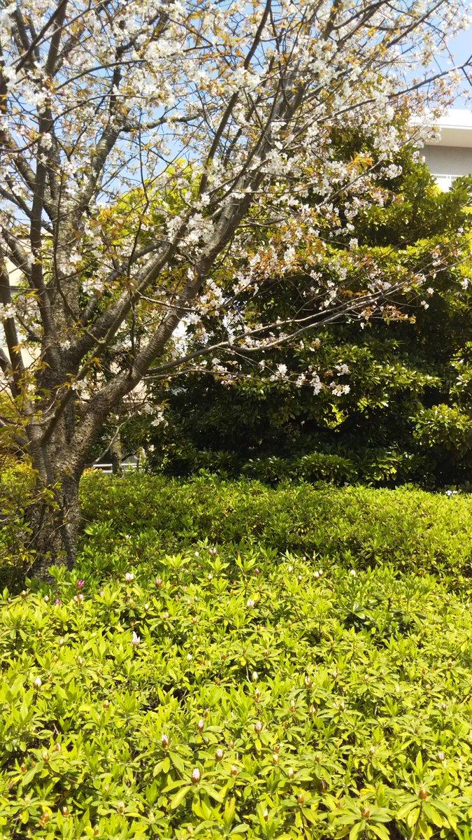 test ツイッターメディア - 桜🌸🌸🌸の下にはツツジのつぼみ達が準備しています。#春 https://t.co/mWyvfGhqVQ