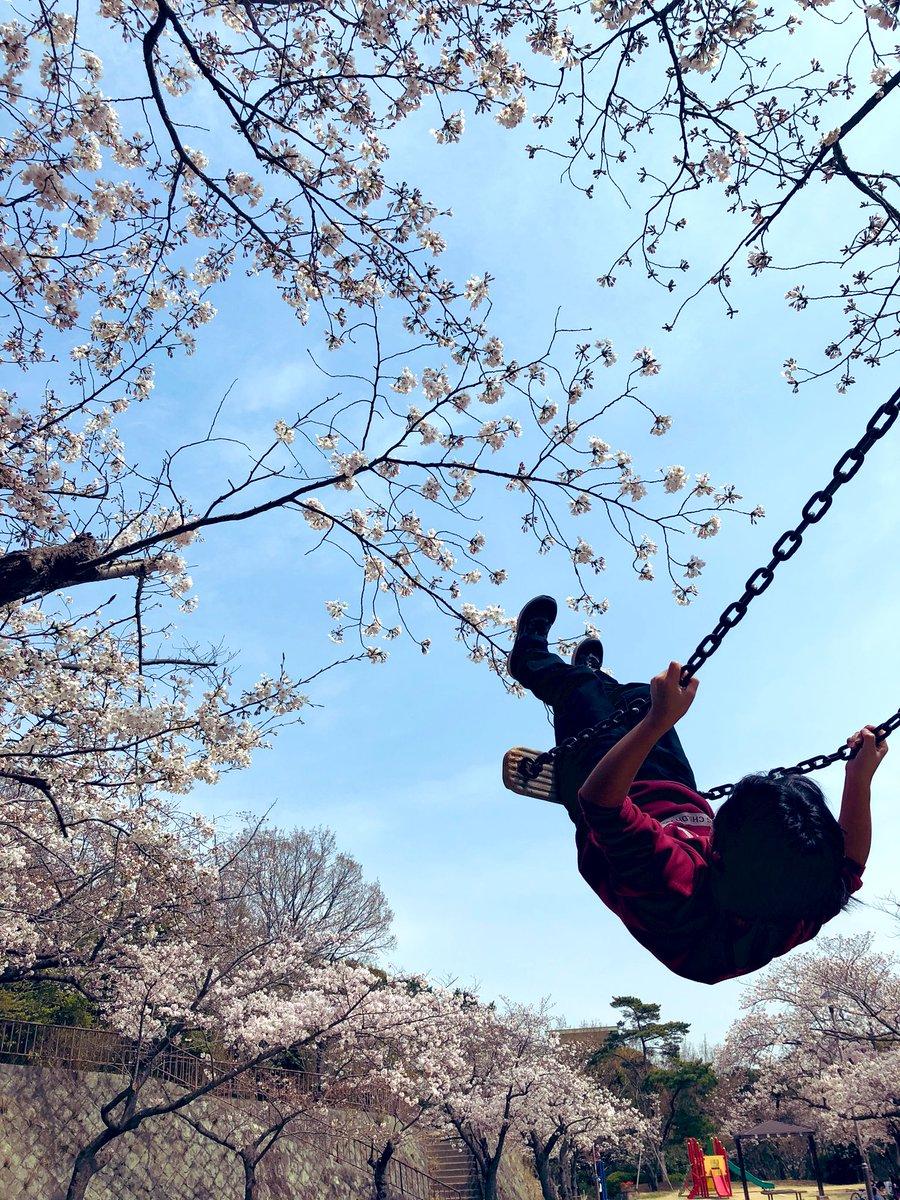 test ツイッターメディア - 近所の公園、つぼみちゃんやったのが満開になってた。 早いなー。桜は美しい。  超個人的ブログはこちらでhttps://t.co/53VjggL00C https://t.co/6rVvunboCl