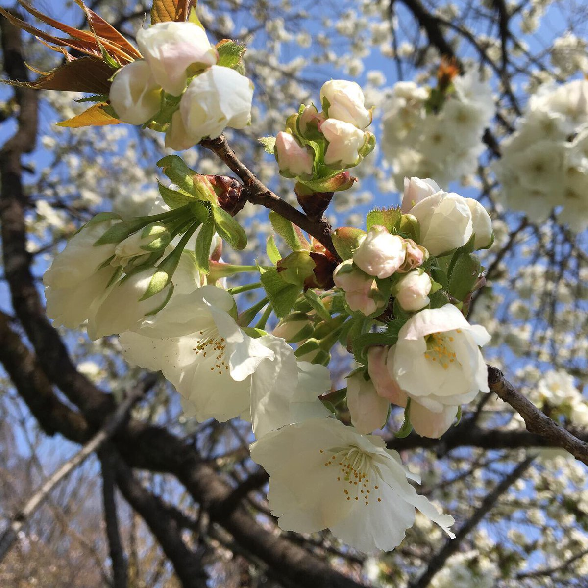 test ツイッターメディア - 通りすがりの桜 つぼみがうっすらピンクでかわいい😍 来年はゆっくりお花見できますように✨✨✨  #桜 #駒繋 https://t.co/PuOHFTBXNU