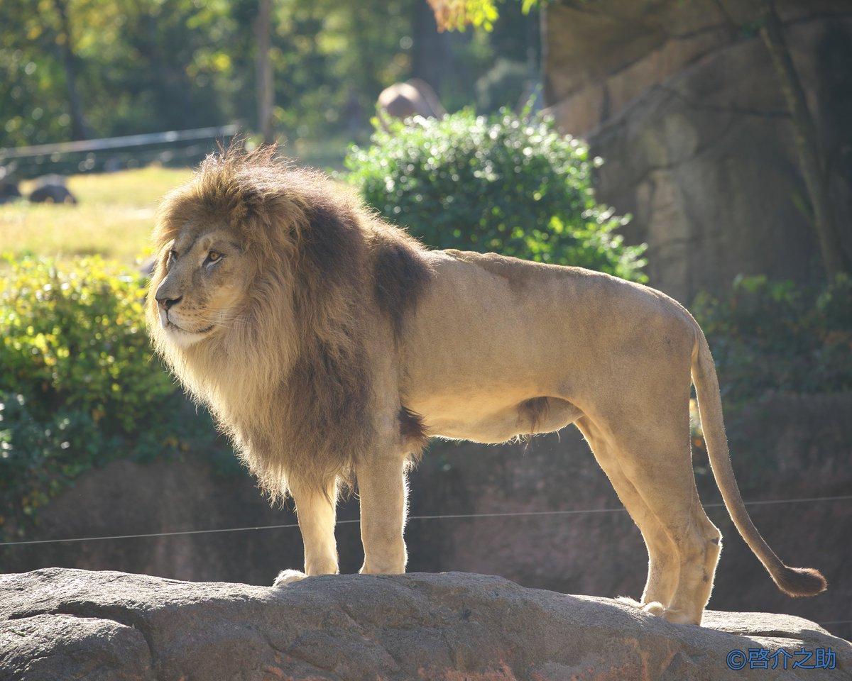 test ツイッターメディア - 4月4日、獅子の日ということでライオンを集めました ①いしかわ動物園、クリス ②天王寺動物園、ガオウ ③東山動物園、サン ④茶臼山動物園、キュウゾウ #獅子の日 #ライオン https://t.co/s5HLRAXJNe