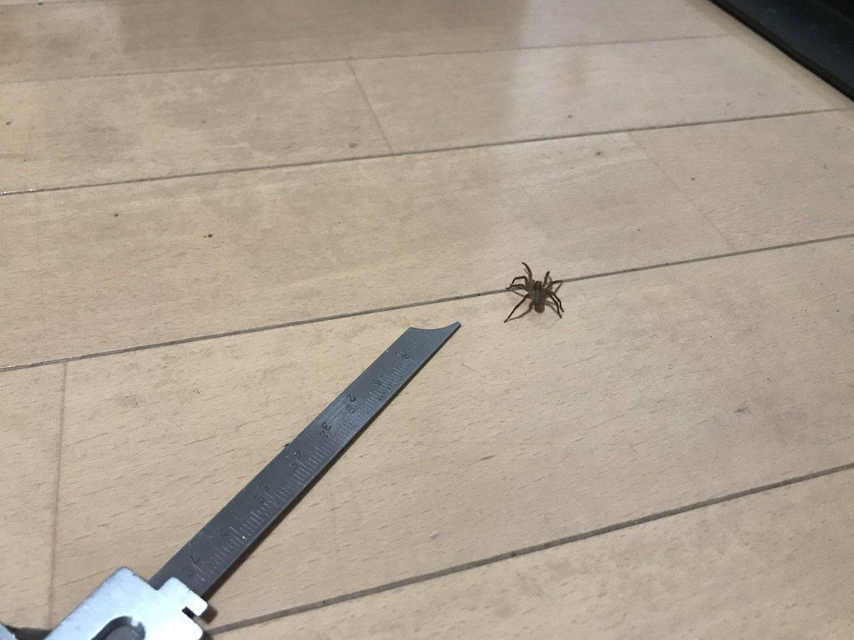 test ツイッターメディア - リビングに普通にクモのいる人生。体長20mmぐらいのアシダカグモの子供? https://t.co/A40weMYsT1