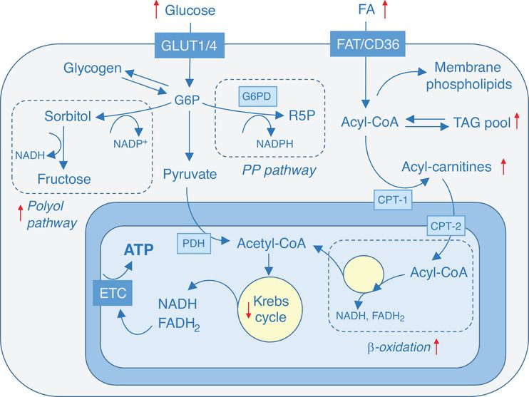 test Twitter Media - 'Let's face the fats: palmitate restores cellular redox state in the diabetic heart' from @ChristophMaack @LabMaack @DZHI_Wuerzburg #diabetes #mitochondria #metabolism https://t.co/edsPZ9rRmT https://t.co/hTahXL1Seu