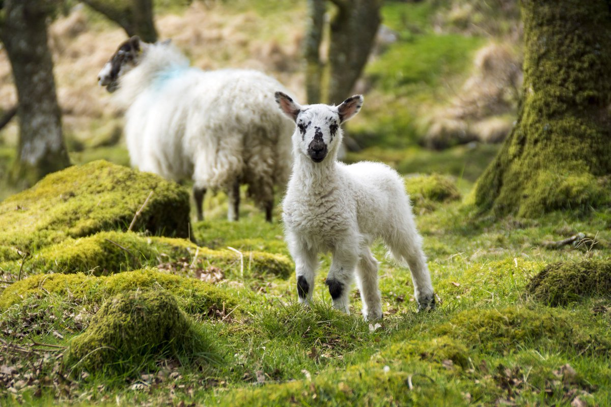 test Twitter Media - A young lamb and ewe enjoy the lush green grass and warming Easter sunshine on Dartmoor.   Unaware of a world in turmoil, they keep doing what they have done for generations. Without restrictions.  #Dartmoor #Photography #Easter #Lamb https://t.co/fkP2YGPj5u