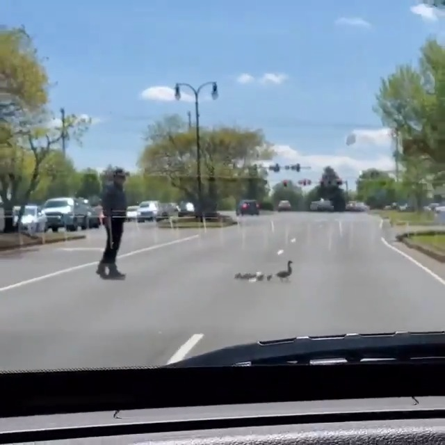 AWE! ❤️🦆 An officer in Hendersonville helped a momma duck and her baby ducklings cross a busy road yesterday - even giving them a boost over the curb!  📽️: Pamela McMahon Ferguson  Submit things that make you smile here: