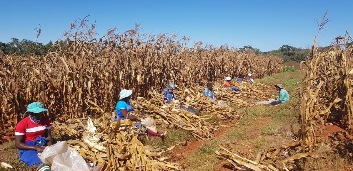 test Twitter Media - Bright blue skies over #Zimbabwe this morning as BRECcIA researchers harvest #maize from our crop trial fields with the help of local community members.  @SADC_WaterNet @unisouthampton https://t.co/GZoUU9LNm9