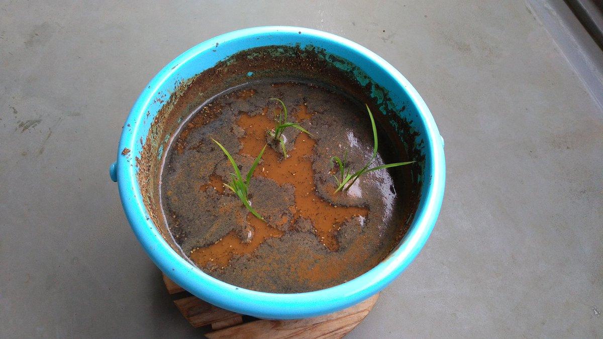 test ツイッターメディア - 阿部酒造(新潟 柏崎) #stay米home プロジェクト 昨日はバケツに土を入れ水と混ぜて、一晩おいて土が落ち着いて上澄みが1cm位できたので、田植えしました。 https://t.co/tqZ0Z7vGuL