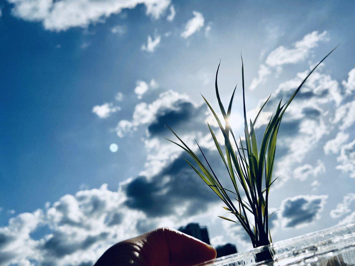 """test ツイッターメディア - 日曜日。大安一粒万倍日。かわいい""""越神楽"""" 苗が届きました✨ 新潟の阿部酒造さんの新プロジェクト『STAY米HOME』に参加⭐︎今日は水と土を混ぜ混ぜして自宅でミニ田んぼづくり。明日は田植え。苗から大好きな日本酒をつくれるなんて素敵な企画✨大切に育てます🌱 #STAY米HOME #阿部酒造 https://t.co/3q1o6eA330"""