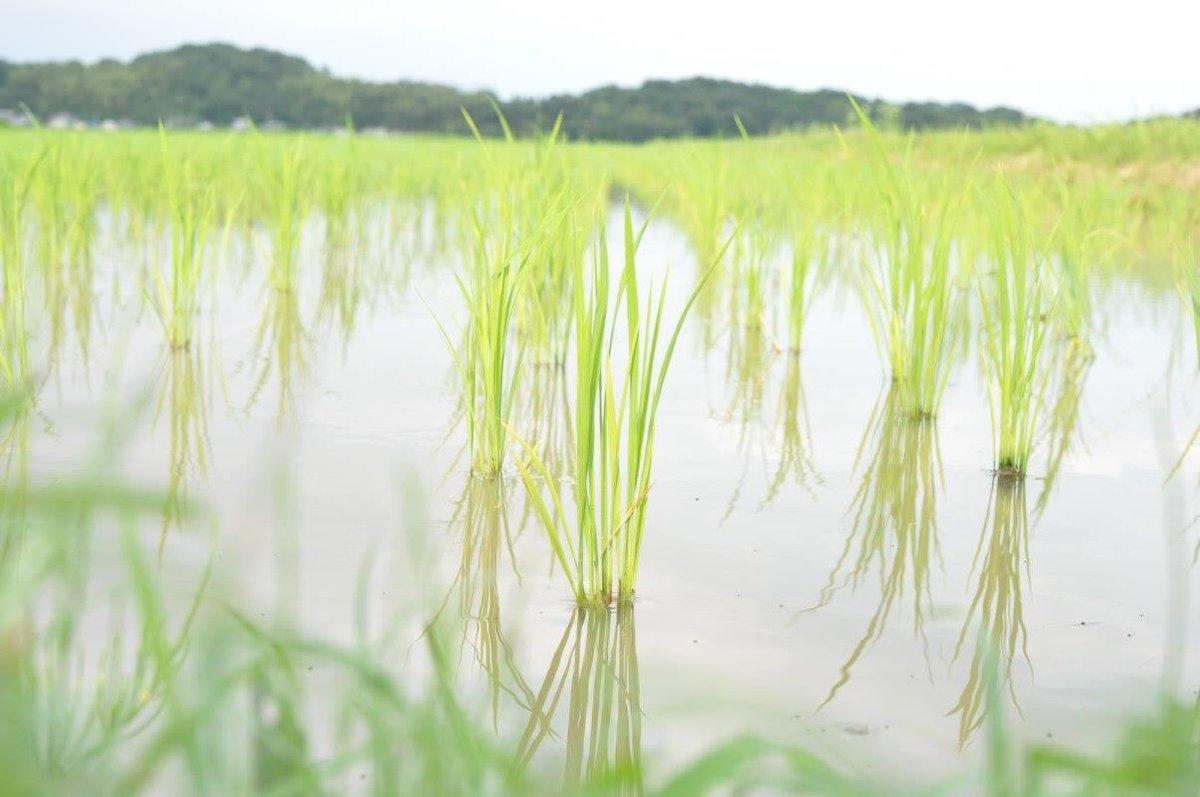 test ツイッターメディア - 信州亀齢の山田錦は兵庫県加西市の名古屋さんに栽培してもらってます。 名古屋さんが上田市の(株)地元カンパニーで役員をしていた時に出会い、「これから兵庫の実家に帰って最高の山田錦作ります!」と言ったので「それ買います!」と応えて今に至っています。 https://t.co/YYJK4A838V