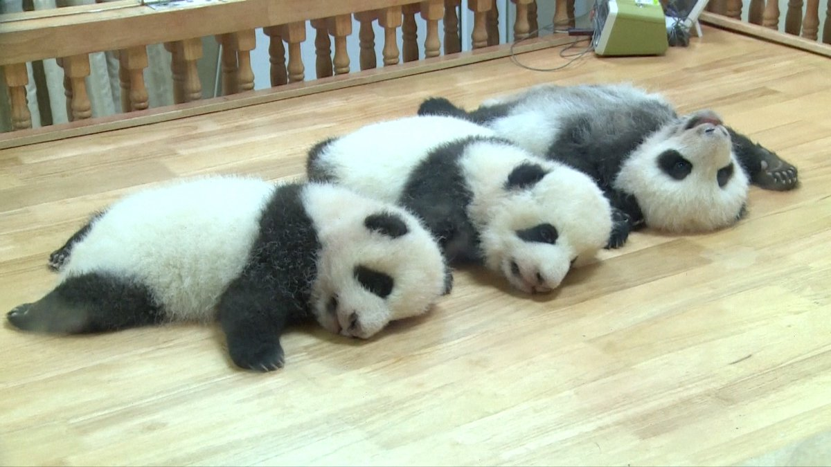 🐼 Ease your anxiety by watching cute #panda cubs!  These 2-month-old cubs born during the epidemic are celebrating their first #ChildrensDay