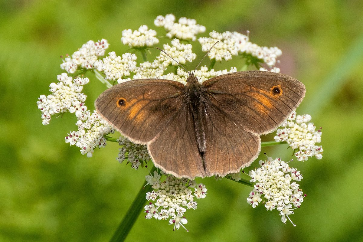 test Twitter Media - Common throughout Britain, a Meadow Brown butterfly soaks up the sunshine on Dartmoor. #Ivybridge #SouthDevon #Devon #Dartmoor #Butterfly #Photography https://t.co/CcpC6TiDwN