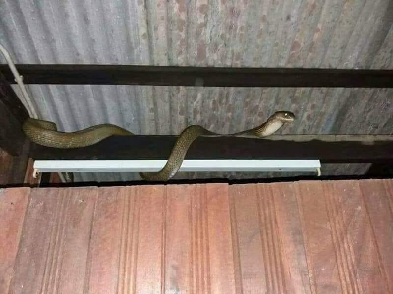 Ular Masuk Rumah  Orang Tua selalu pesan jika ada ular yang tersesat masuk ke rumah kita, JANGAN sesekali terus membunuh ular itu tanpa sebab. Hendaklah memberi amaran kepada ular itu terlebih dahulu dengan kata-kata begini..