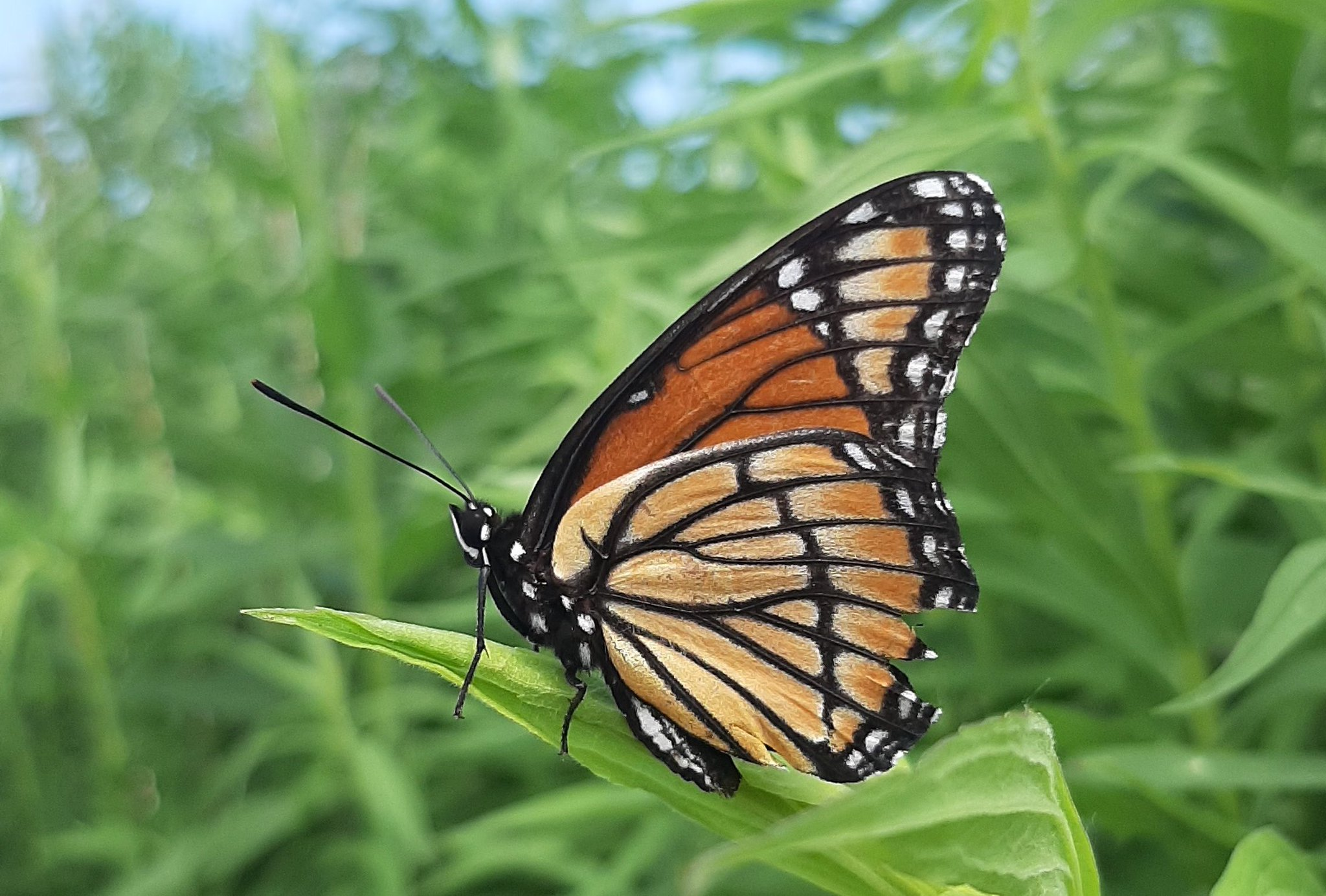 This is a Viceroy, it mimics almost perfectly the look of the much larger Monarch butterfly. Monarchs are poisonous to most predators, the Viceroy is not! #wildlife #nature #butterflies #Ontario https://t.co/NRGHJwKWfg