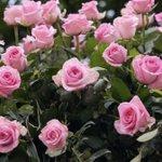 #Roses #gardening #pink https://t.co/u6yAT2dVAJ